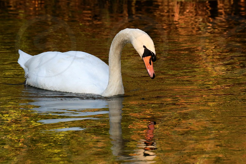Swan with reflections in autumn light  swan bird wildlife autumn reflections photo