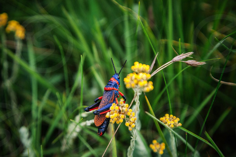 Grasshopper red and blue wildflower yellow Drakensberg South Africa flora fauna flora and fauna. photo