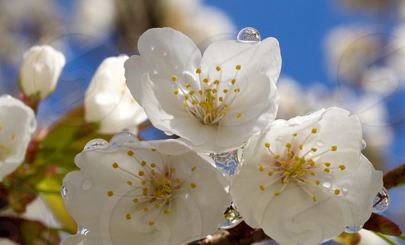 flower bloom cherry sakura japan spring photo