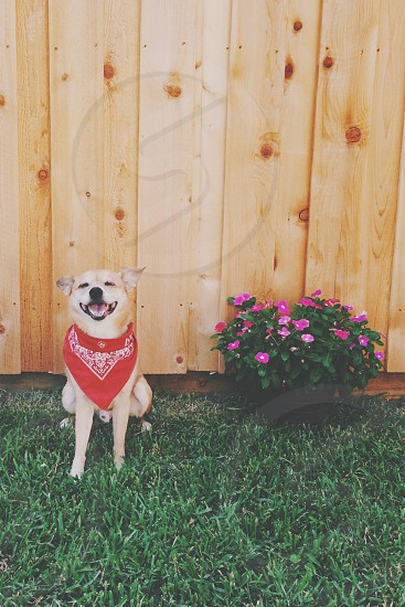 brown short haired dog with red bandana smiling at the camera photo