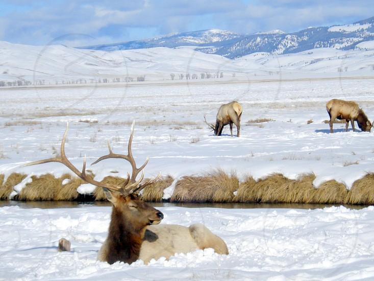 Elk in snow Wyoming photo