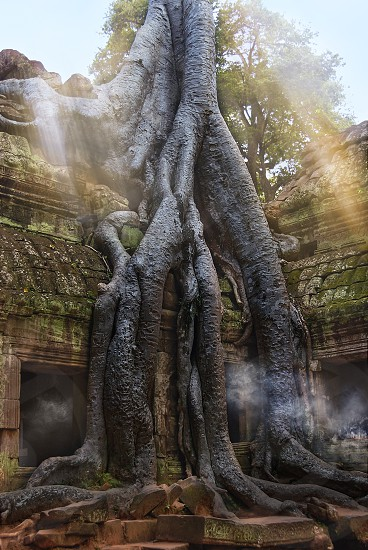 Incensed Roots Shrouded in dense jungle the temple of Ta Prohm is ethereal in aspect and conjures up a romantic aura. Fig banyan and kapok trees spread their gigantic roots over stones probing walls and terraces apart as their branches and leaves intertwine to form a roof over the structures. Trunks of trees twist amongst stone pillars. The strange haunted charm of the place entwines itself about you as you go as inescapably as the roots have wound themselves about the walls and towers. photo