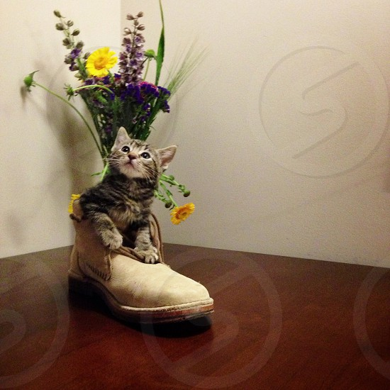 kitten in boot picture photo