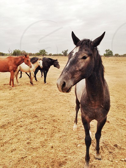 Horses wait to be fed during a drought  photo
