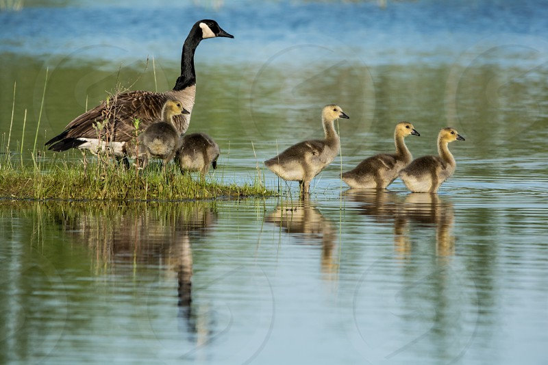Canadian goose and goslings.  photo