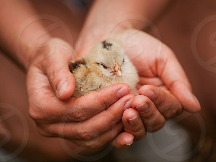 Hands holding warmly a baby chick chicken bird  photo
