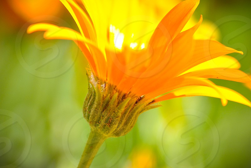 flower orange gold yellow color spring green photo