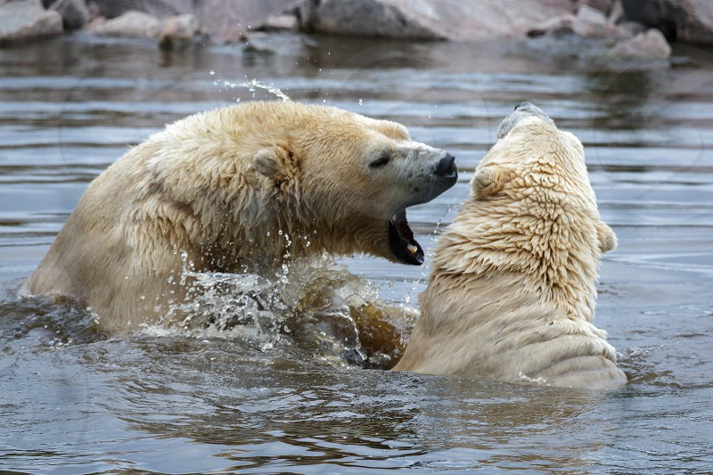 Polar Bears (Ursus maritimus) photo