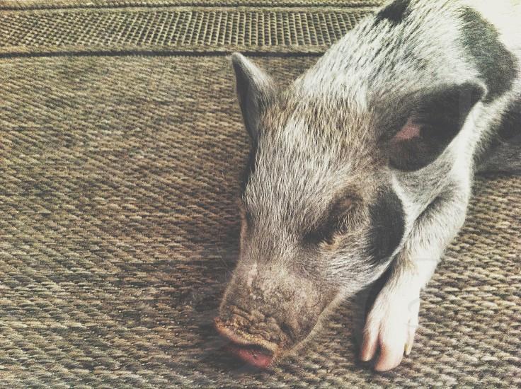 A small sleeping piglet kept as a house pet.  pig; piglet; pet ; cute; small; nap; sleep; sleeping photo