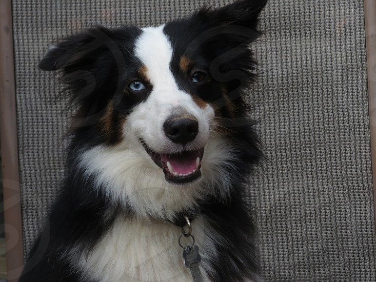 Dog puppy best friend Australian Shepherd black and white happy photo