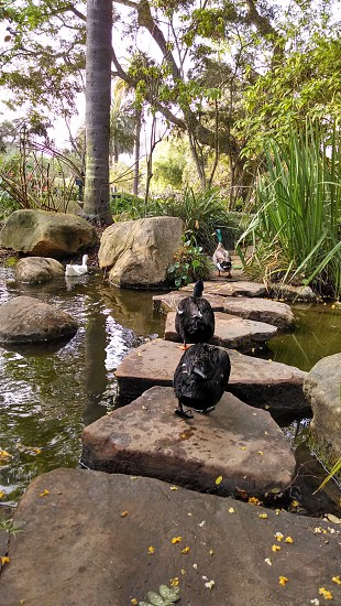 Going for a stroll with my duck buddies in Alice Keck park in SB photo