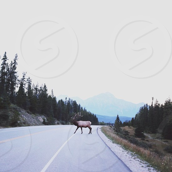 view of a road with tree's on the side and a moose crossing photo
