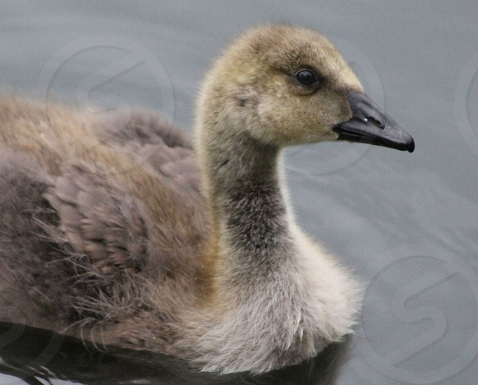 BabyducklingfluffysoftnaturewildlifewatercountrysideUnited Kingdom photo