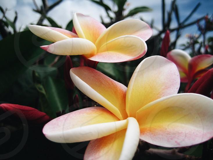 blooms from the island of Kauai Hawaii photo