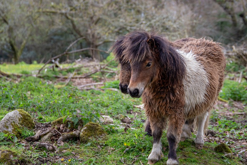 Two Shetland ponies in a field in Cornwall  UK photo
