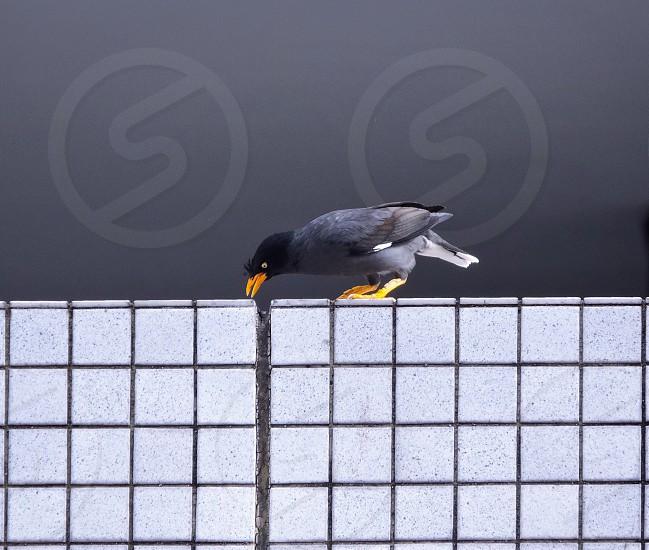 myna bird bird pest fineart fine art wall white grey background winged wings beak skyscraper tiles patterns lines yellow photo