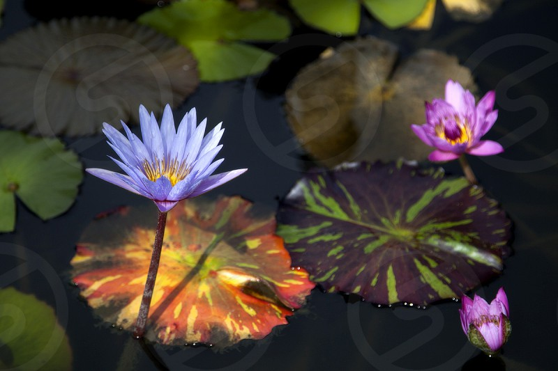 purple water lily flower photo