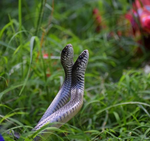 snake mating photo