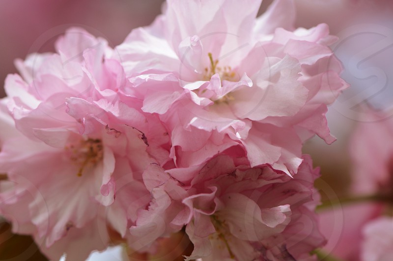 pink and white carnation flower photo