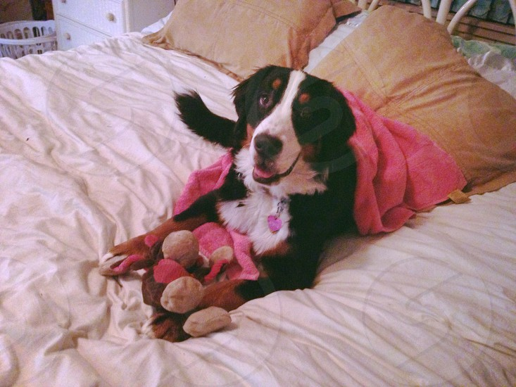 black brown and white dog on bed linen photo