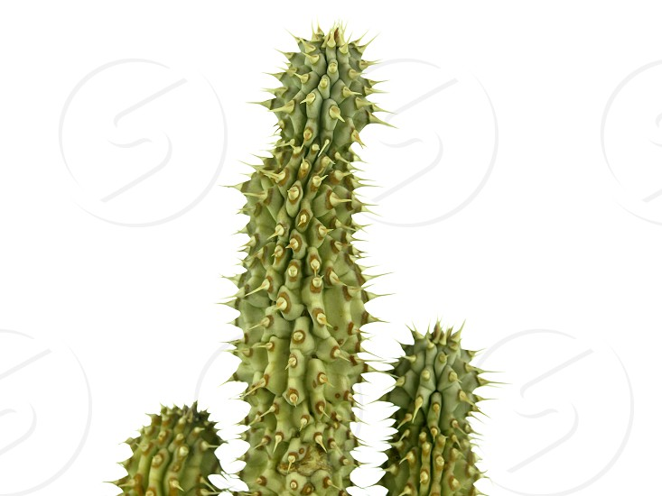 Hoodia gordonii african cactus medicine for weight loss photo