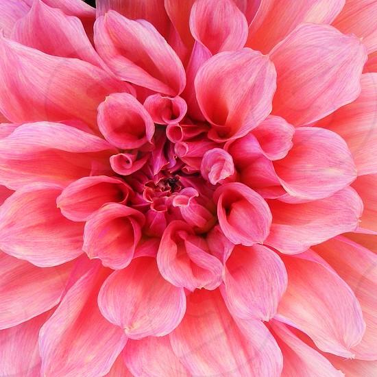 Close-up of a pink dahlia photo