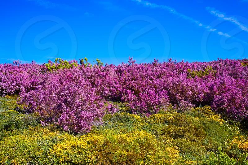 The way of Saint James in Leon Bierzo pink flowers mountains to cruz de Ferro photo