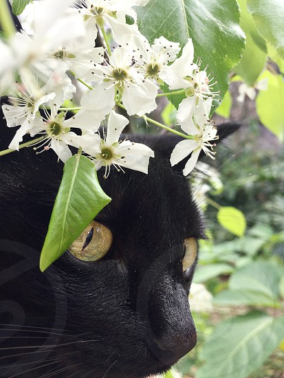 Stellaaaaa! and pear blossoms. Pear flowers buds Spring cat black cat pet photo