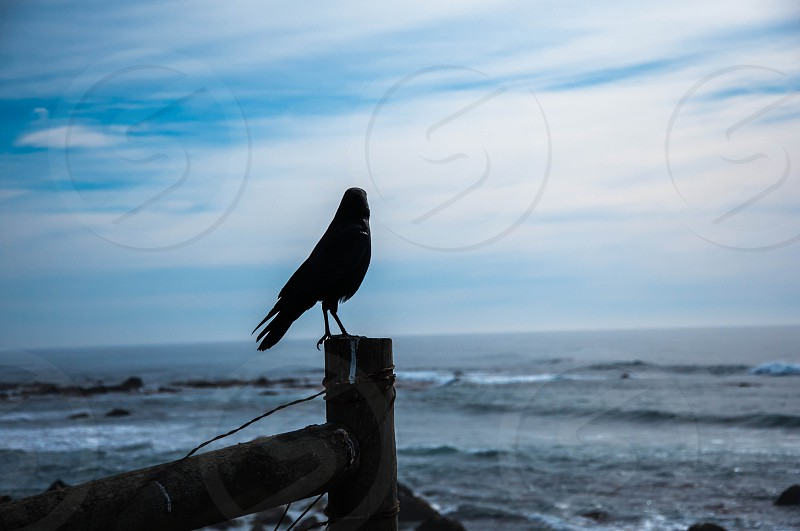 crow overlooking the ocean photo