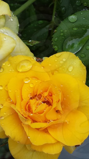 yellow full bloomed flower with droplets of water photo