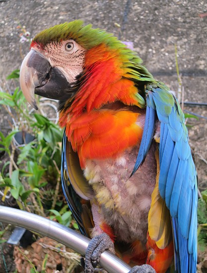 A colorful Puerto Rican parrot photo