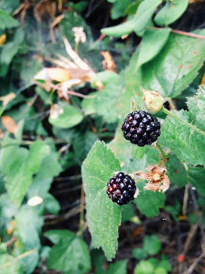 purple blackberry photo
