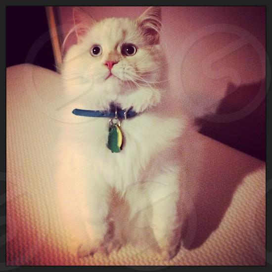 This is my Persian kitten Asad Vladimir. He makes me so happy.  photo