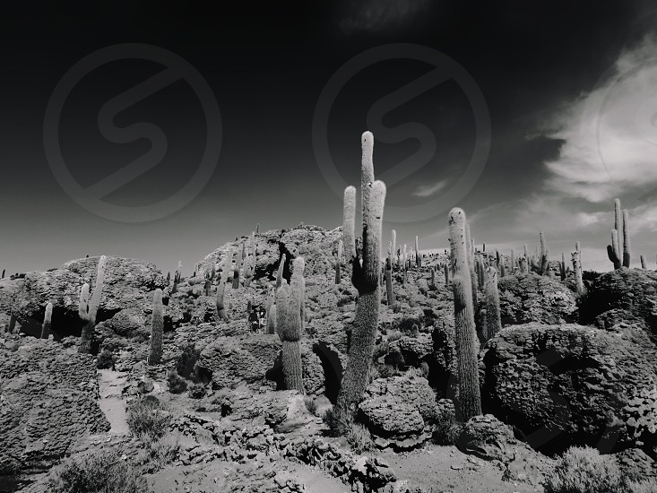 grayscale photograph of cactus photo