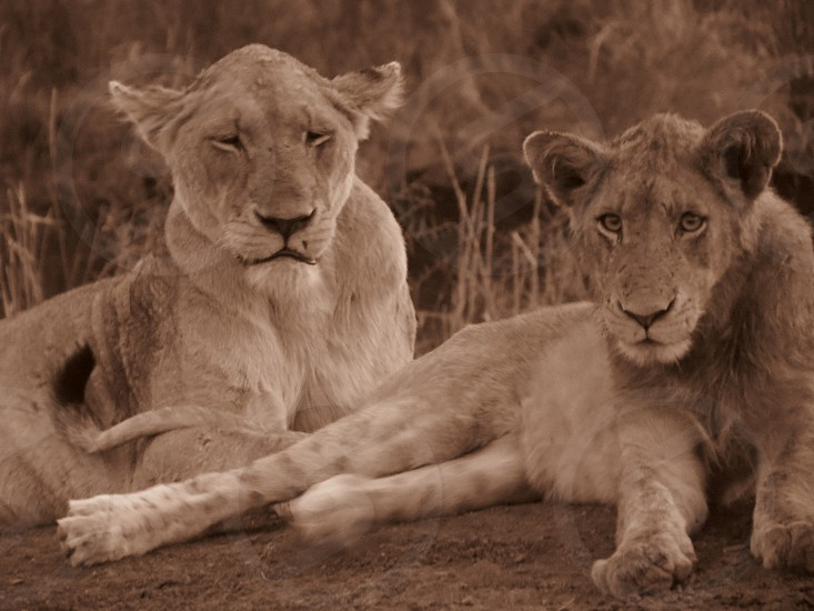 Lioness and young lion photo