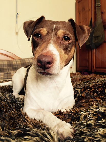 Jack Russell terrior  photo
