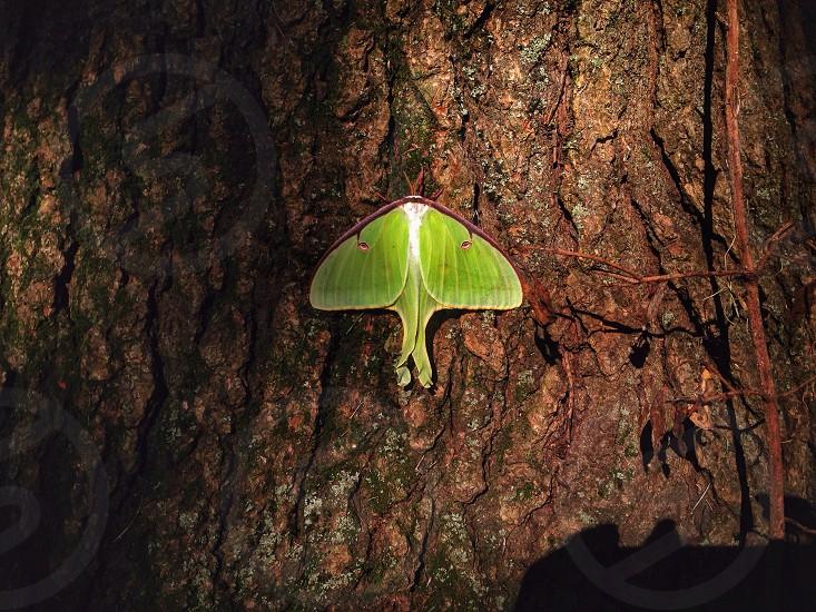 luna moth on brown tree trunk photo