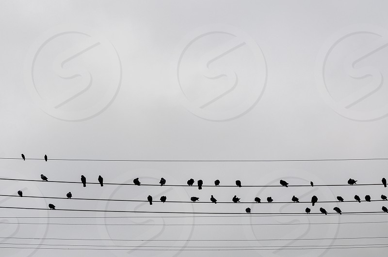 Birds on the wires on a grey day photo