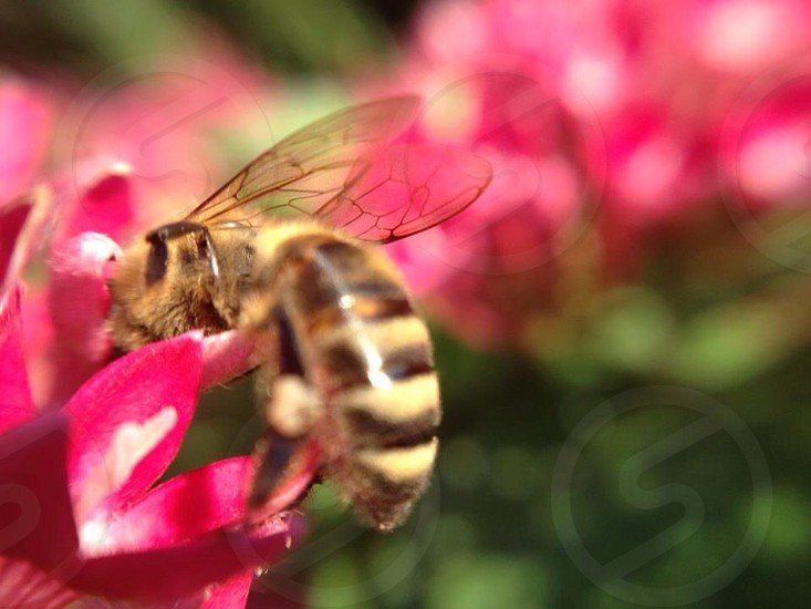 brown and beige bee on red flower photo