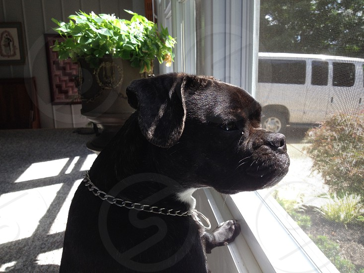black dog looking out of window in white window pane photo