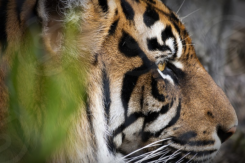 Zoom Profile of Tiger through Vegetation photo