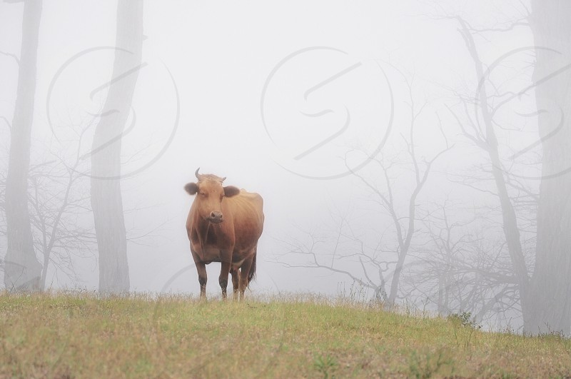 brown cow on foggy green field photo