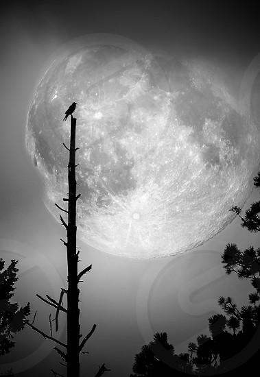 black bird resting on dead tree under the moonlight photo