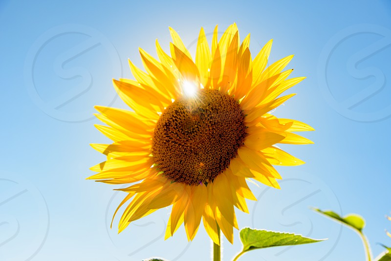 Close up of a sunflower against clear sky and sun photo