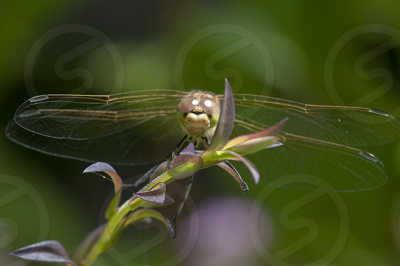 macro insect dragonfly photo