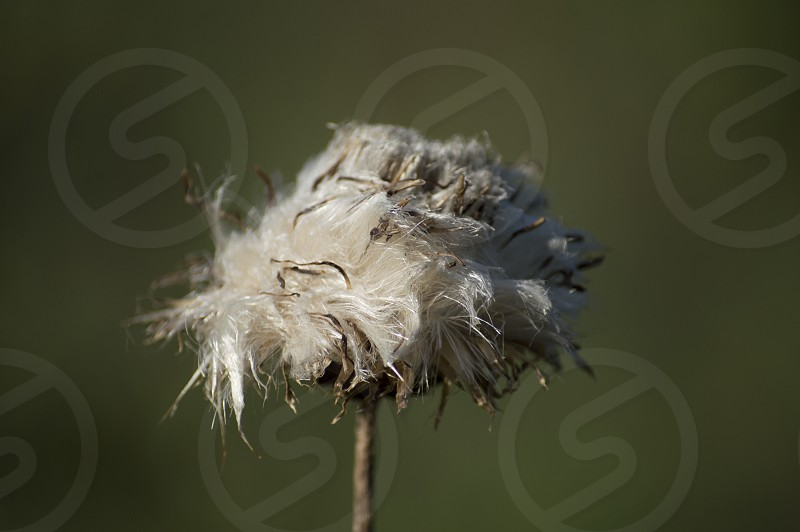 Muted earthy tones of a dying thistle flower as it shrivels and withers away. photo