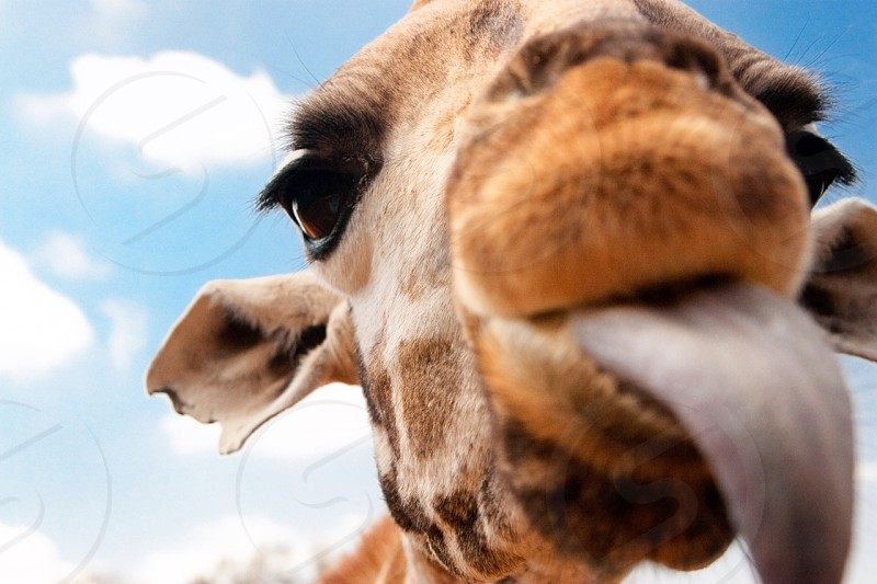 Giraffe trying to get the treat I was holding with my lips in Nairobi Kenya. photo