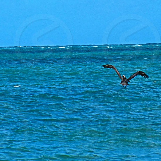 Pelican diving for his lunch photo