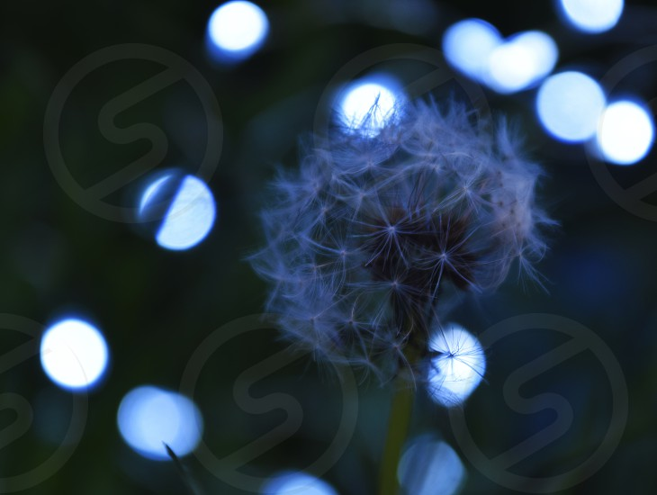 Dandelion in bokeh macrophotography photo