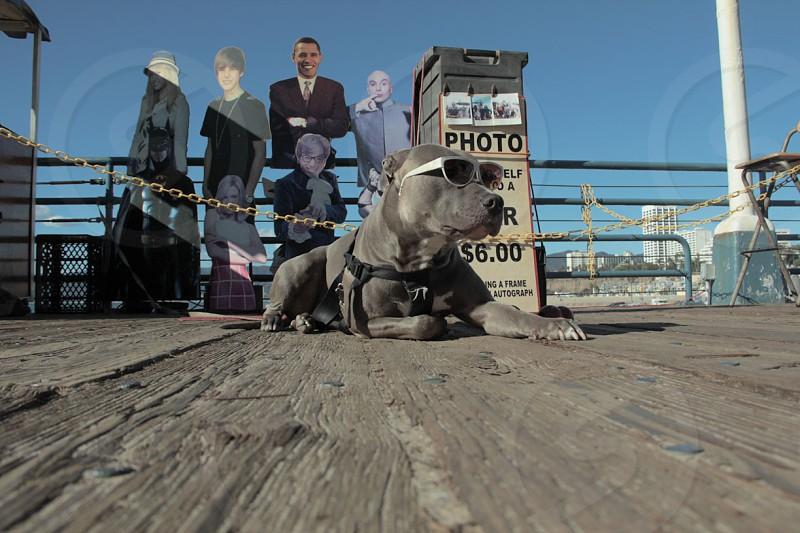 grey short haired medium sized dog photo